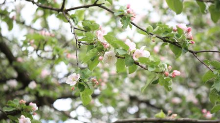 Apple Flower at Spring