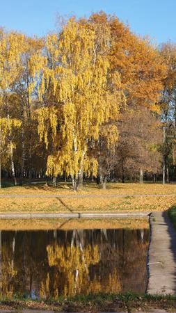Birch Alley at Autumn
