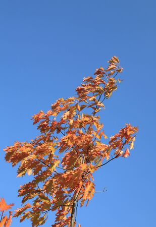 red oak leaves at autumn