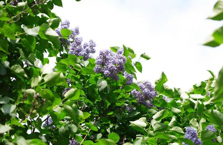 lilac at spring on leaf background