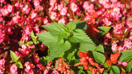 nettle on red little flowers Stock Photo