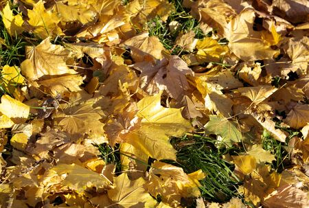 Yellow Maple Carpet at Autumn