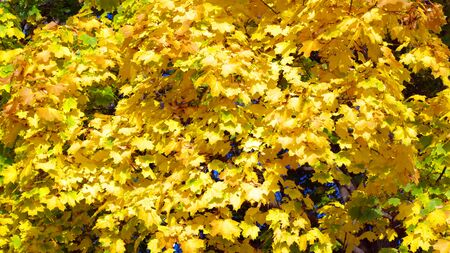 yellow maple leafs on tree 版權商用圖片