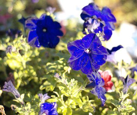 blue flower Campanula ad dry sunny day