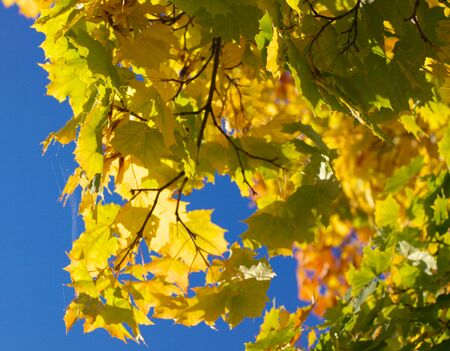 yellow maple leafs on tree Stock Photo