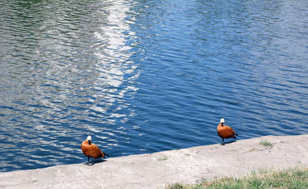 two ruddy shelduck on bank at day