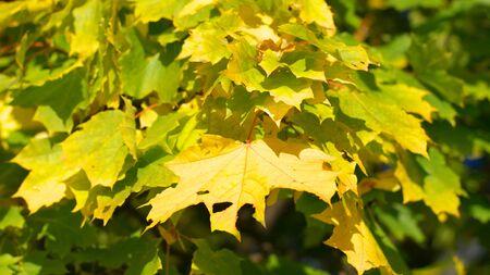 yellow maple leafs on tree Reklamní fotografie