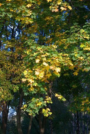 yellow maple leafs on tree Stock fotó