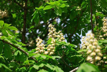 chestnut at spring on leaf background