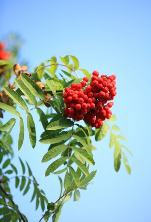 ashberry with leafs on sky background Banco de Imagens