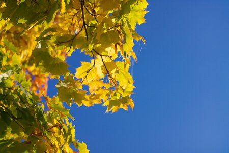 yellow maple leafs on tree 免版税图像