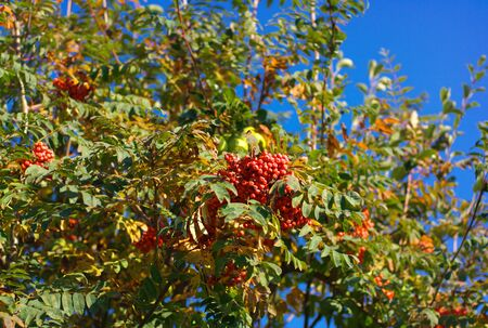 ashberry at dry sunny day