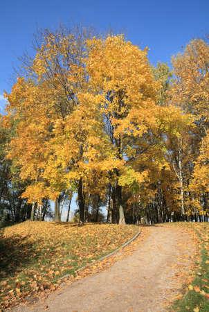 maple alley at autumn 版權商用圖片