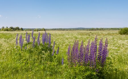 lupines: Lupines in summer field