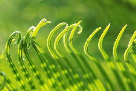 verdure: The rolling new verdure leaves of the cycad tree. Stock Photo