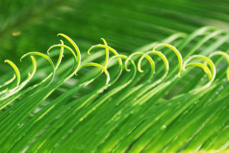 cycad: The rolling new verdure leaves of the cycad tree. Stock Photo