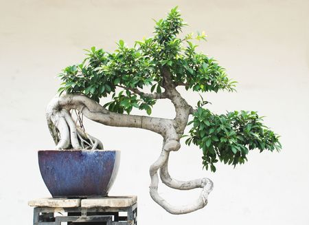 old tree: The chinese bonsai tree in ceramic pot.