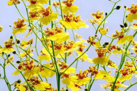 in bloom: Bloom oncidium
