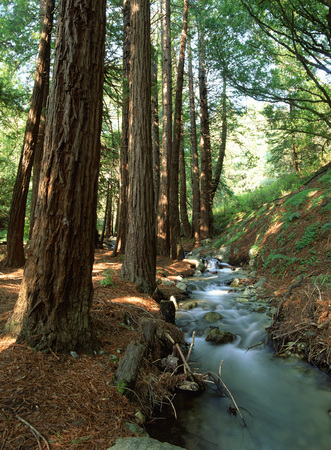 Vertical Image Of Tall Trees At The Side Of A Rushing Stream In An Oregan Forest