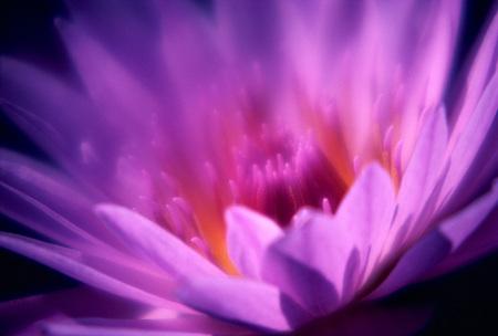 Detail Of An Open Purple Flower Blossom