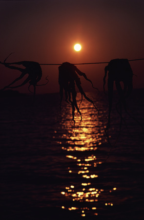Three Octapi Hang Over A Line At Bay In An Asian Sunset LANG_EVOIMAGES