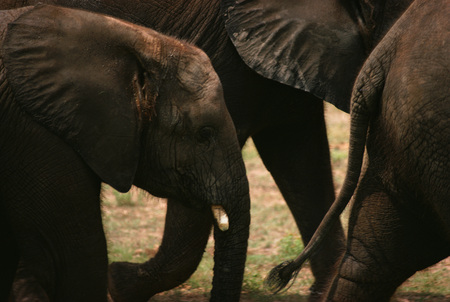 gentle dream vacation: Detail Of A Herd Of Elephants On The Move