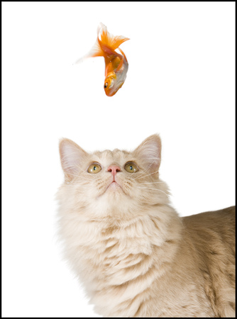 Close-Up Of A Cat Looking Up At A Goldfish LANG_EVOIMAGES