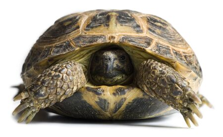 Tortoise With Head In Shell