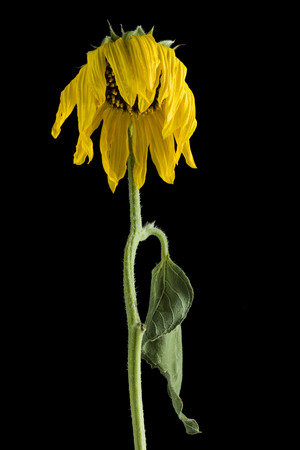 helianthus: Close-Up Of A Dying Sunflower