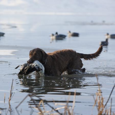 Bird Dog Retrieving A Duck Carcass
