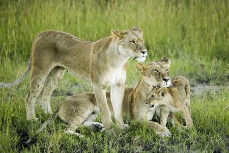 Lion Family In Kenya, Africa
