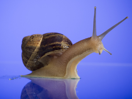 Close-Up Of A Snail On A Blue Background LANG_EVOIMAGES