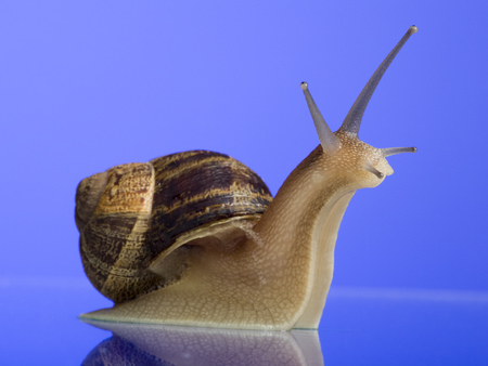 reflective: Close-Up Of A Snail On A Blue Background LANG_EVOIMAGES