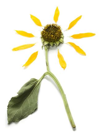 Close-Up Of A Dead Sunflower
