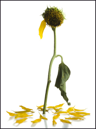 A Dying  Sunflower With One Petal Left