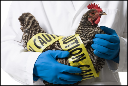 Animal Researcher Holding Infected Chicken