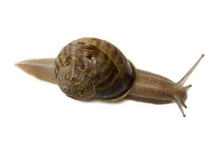 Close-Up Of A Snail On A White Background