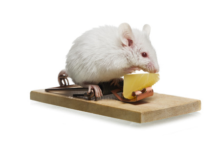 Close-Up Of A Rat Eating Cheese In A Trap LANG_EVOIMAGES