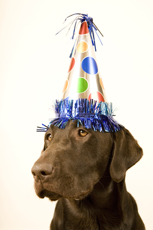 Chocolate Lab With A Birthday Party Hat On His Head LANG_EVOIMAGES