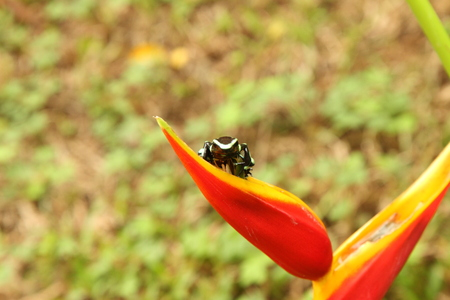 dendrobates: Costa Rica,Close Up Of Green And Black Poison Dart Frog (Dendrobates Auratus) Sitting On Red Flower Petal
