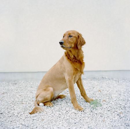 Usa,Utah,Salt Lake City,Half Shaved Golden Retreiver Portrait