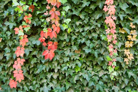 Wall covered with ivy green and red  Stock Photo - 8270994