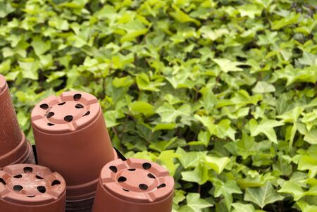 Artistic composition of potted ivy green background in a nursery  Stock Photo - 9420172