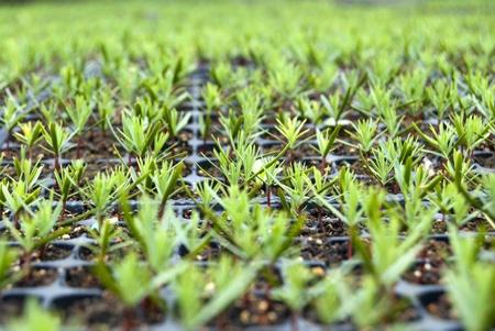 nurseries: Campuses of cypress seedlings in a nursery