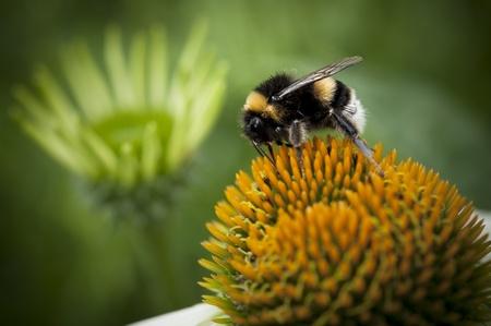 Bumblebee on a orange flower Stock Photo - 13207366