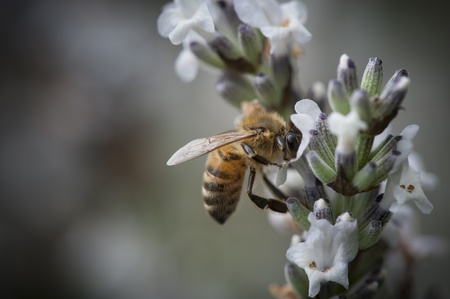 small purple flower: Honey Bee in a small purple flower Stock Photo