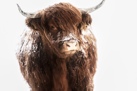 Scottish highland cow covered with snow photo