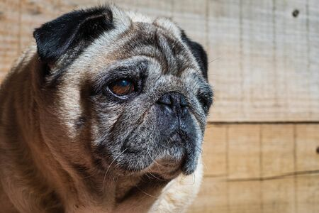 Portrait pug carlino mop pure breed wood background closeup