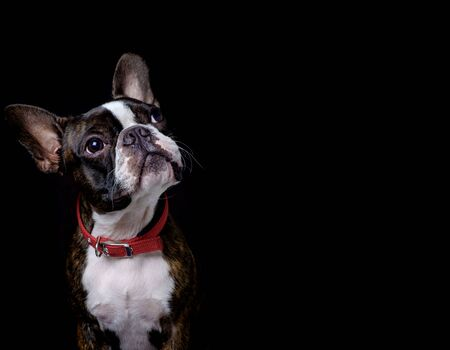 Portrait boston terrier pure breed black background closeup