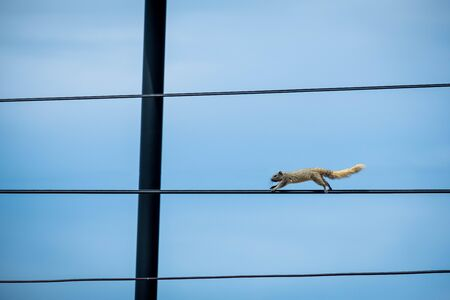 Beautiful grey squirrel running in lights cable Stok Fotoğraf